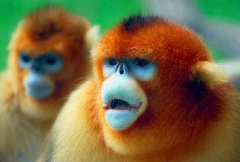 Gold snub nosed monkey